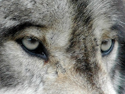 On Wolves, Wildlife, Declarations and Independence Day